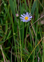 Aster_3663