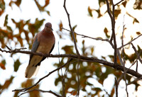 9Win Laughing Dove