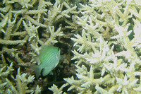 12Row Green Damselfish