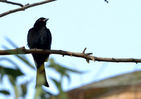 10Gambia Bird, Drongo Fork-tailed (1)