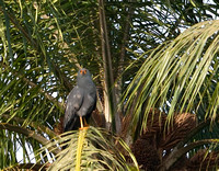 15Gambia Bird, Hawk African Harrier (2)