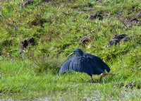 16Gambia Bird, Heron Black (1)