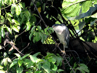 17Gambia Bird, Heron Black-crowned Night (1)