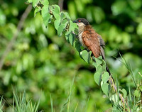 7Gambia Bird, Coucal Senegal (1)