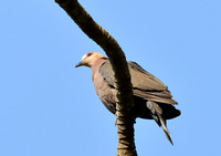 9Gambia Bird, Dove African Mourning (2)