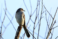 17CC Northern Mockingbird