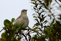 15CC Northern Mockingbird