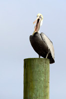 5CC Brown Pelican