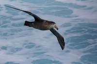 9Sea Northern Giant Petrel