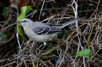 16CC Northern Mockingbird