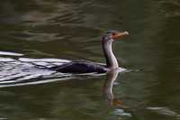 7CC Double-crested Cormorant