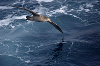13Sea Northern Giant Petrel