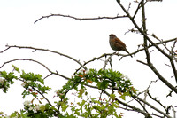 7Sto Dunnoch or Hedge Sparrow