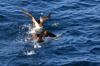 11C Brown Booby