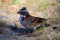364Val Rufous-Collared Sparrow
