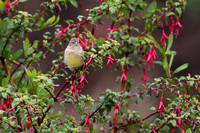 362Val Yellow-bridled Finch