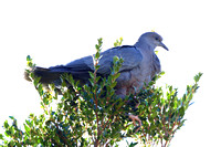 368Val Chilean Pigeon