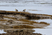 8Sh Spur-winged Plover