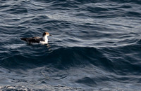 Greater Shearwater_080514