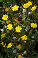 386PEI Common Hawkweed