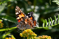 377PEI Painted Lady Butterfly (1)