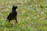 11Fi Jungle Mynah