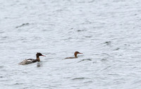 429Whi Red-breated Merganser