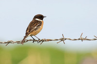8Rho Common Stonechat (1)
