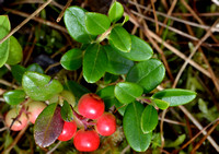 Bearberry_0728