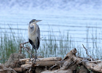 1027Ng Black-headed Heron