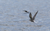 436Whi Common Tern