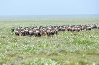 1031Ng Blue Wildebeest