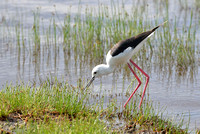 1029Ng Black-winged Stilt
