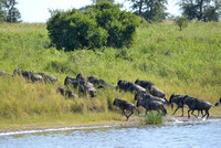 626Ng Blue Wildebeest