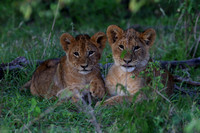 16Mar Lion Cubs