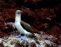 16Gen Blue Footed Booby