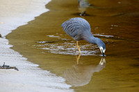 4Ste White-fronted Heron