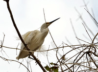 12Tana Cattle Egret