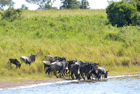 625Ng Blue Wildebeest