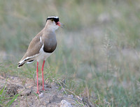 18Amb Crowned Plover
