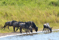 624Ng Blue Wildebeest