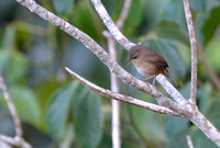 386MV House Wren
