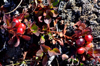Bearberry, Alpine Red_0806