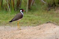 3Wil Red-wattled Lapwing