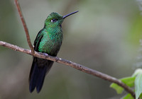 384MV Green-crowned Brilliant Hummingbird M