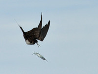 Booby and Frigate Bird Battle