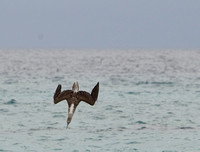364Flor Blue-Footed Booby