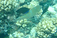 12Ap Pacific Longnose Parrotfish with Bluestreak Cleaner Wrasse JP (1)