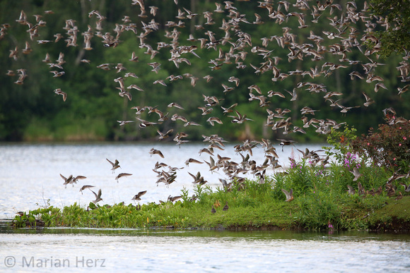10Sew Short-billed Dowitcher and Hudsonian Godwit