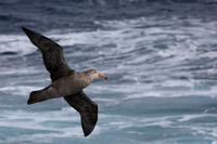 15Sea Northern Giant Petrel